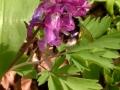 Lerchenspornblüte mit Hummel